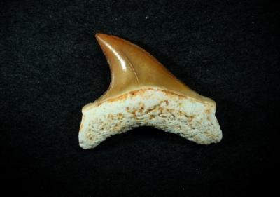 Zahnbreite 10 mm, Sammlung und Foto: Thomas Noll