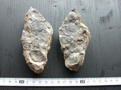Fossilien vom 16.05.2002 aus dem Mitteldevon der Eifel/Ahrdorf