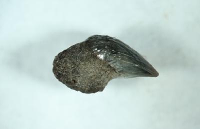 Hai Cetorhinus maximus, Länge 5 mm, Sammlung und Foto: Thomas Noll