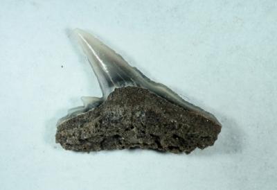 Hai Galeorhinus sp, Zahnbreite 5 mm, Sammlung und Foto: Thomas Noll