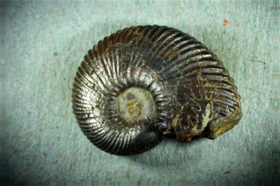 Ammoniten (pyritisiert) aus der Kreide, Laborel, Hautes-Alpes, Frankreich
