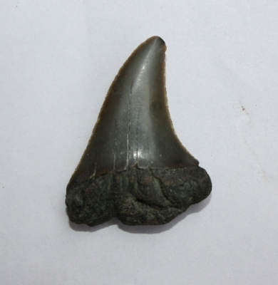 Hai Cosmopolitidus hastalis, Zahnhöhe 35 mm