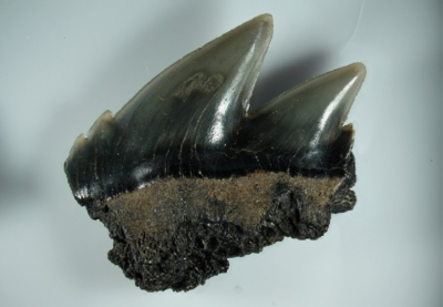 Hai Notorynchus primigenius, Zahnbreite 14 mm