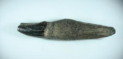 Delphin, Zahnlänge 20 mm