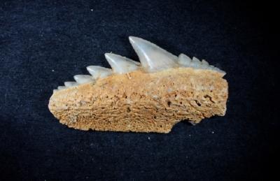 Notorynchus primigenius, Zahnbreite: 17 mm, Sammlung und Foto: Thomas Noll