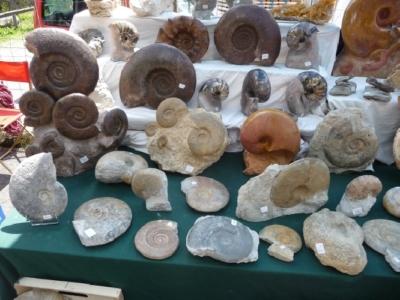 Ammoniten in allen Größen.