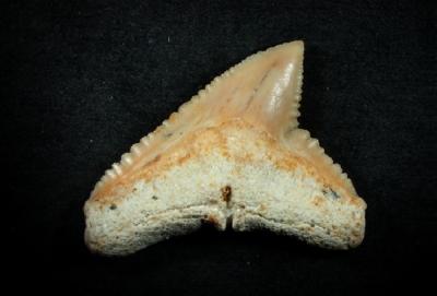 Carcharhinus sp., Zahnbreite 18 mm, Sammlung und Foto: Thomas Noll