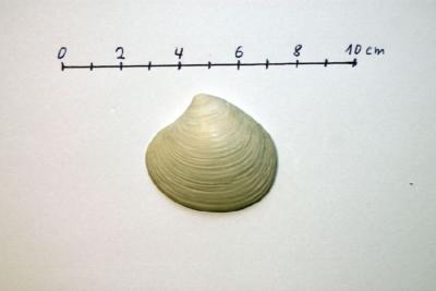 Astarte omalii (forma basteroti)a.