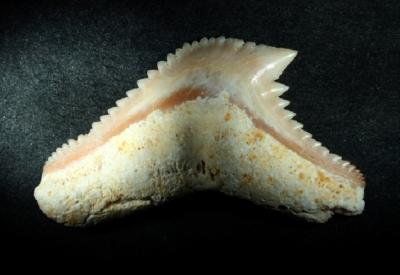 Galeocerdo eaglesomi, Zahnbreite 21 mm, Sammlung und Foto: Thomas Noll