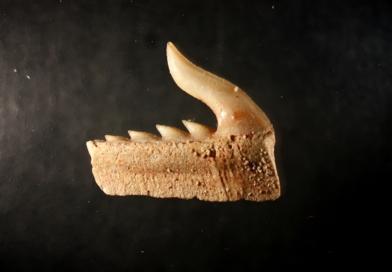 Thomas Dentalabteilung, Neue Galerie mit Zähnen von Haien, Rochen und Fischen