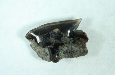 Hai Squalus acanthias, Breite 5 mm, Sammlungund Foto: Thomas Noll