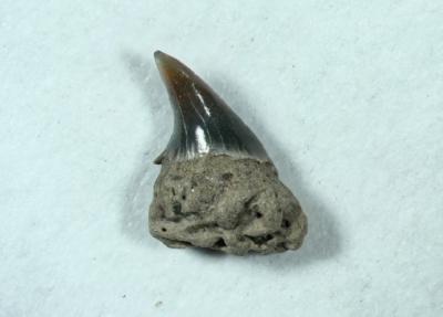Hai Cetorhinus maximus, Seitenzahn, Höhe 3 mm, Sammlung und Foto: Thomas Noll