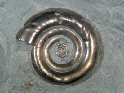 Fossilien aus dem Oberdevon der Eifel