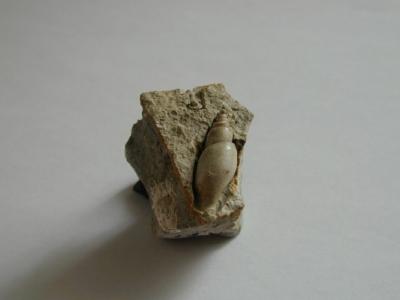 Exilia Trifasciata, 2,5 cm, Sammlung und Foto: Manfred Hermes