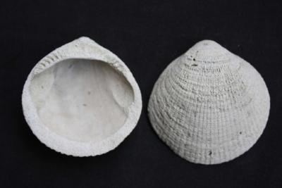 Muschel Glycymeris variabilis, Durchmesser 55 mm