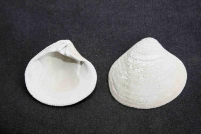 Muschel Durchmesser 37 mm