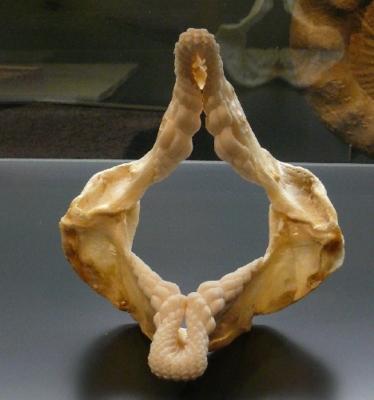 Zur Veranschaulichung: Rezentes Gebiß eines Heterodontus portusjacksoni (Stierkopfhai), Quelle Wikipedia