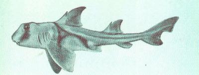 Heterodontus portusjacksoni, rezenter Stierhai, Quelle Wikipedia