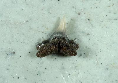Premontreia degremonti, Zahnbreite 2 mm, Sammlung und Foto: Thomas Noll