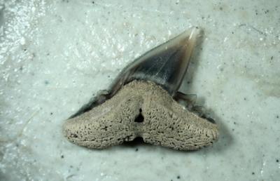 Scoliodon sp, Zahnbreite 5 mm, Sammlung und Foto: Thomas Noll