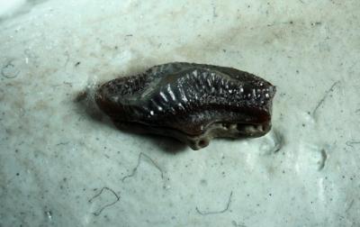 Heterodontus vincenti, Seitenzahn, Breite 6 mm, Sammlung und Foto: Thomas Noll
