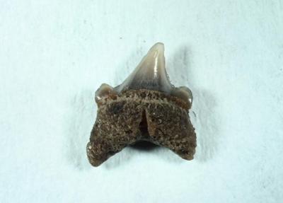 Odontaspididae, Müller und Henle 1839, Zahnhöhe 4 mm, Sammlung und Foto: Thomas Noll