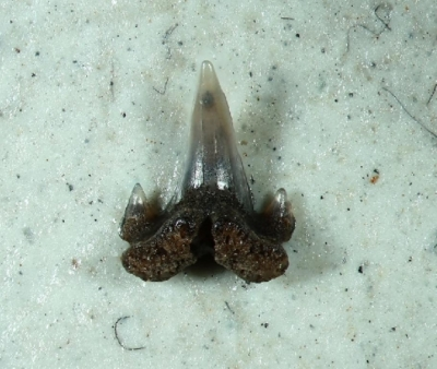 Premontreia gilberti, Zahnbreite 2 mm, Sammlung und Foto: Thomas Noll