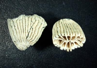 Koralle, Länge 7 mm