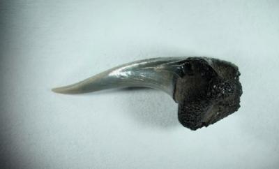 Hai, Carcharoides catticus, Zahnhöhe 20 mm