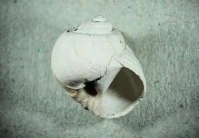 Schnecke, Durchmesser 13 mm