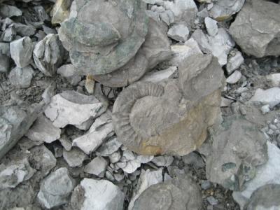 Ammoniten in Fundzustand