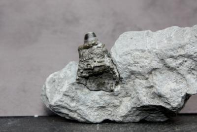 Phragmokon eines Belemniten, pyritisiert, Höhe 25 mm, Sammlung und Foto: Thomas Noll