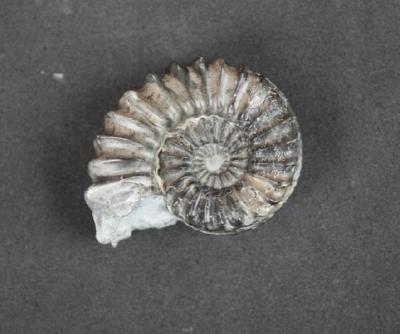Pleuroceras spinatum. Der kleine pyritisierte Bruder ist fertig. Breite 5 cm. Sammlung und Foto: Thomas Noll