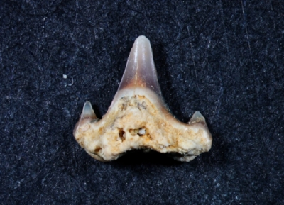 Scyliorhinus aff. distans, Zahnhöhe: 3 mm, Sammlung und Foto: Thomas Noll