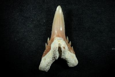 Hemipristus curvatus, Zahnhöhe 15 mm, Sammlung und Foto: Thomas Noll