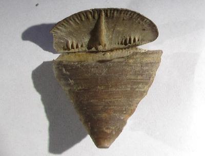 Calceola sandalina