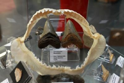 Rezenter Kiefer vom Tigerhai mit 2 MEG's oder auch