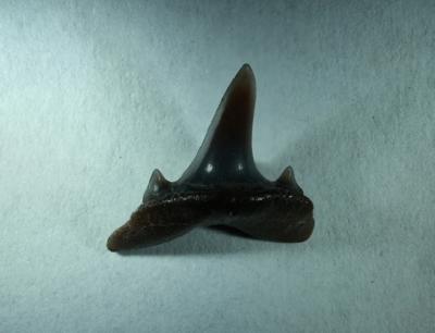 Isurolamna affinis, Zahnhöhe 9 mm, Sammlung und Foto: Thomas Noll