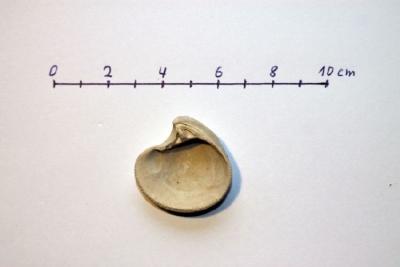 Astarte omalii (forma typica) b.