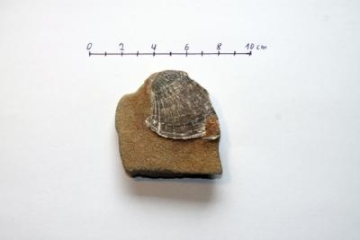 Megacardita planicosta in Glaukonitsandstein 3.