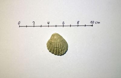 Venericardia (Glans) aculeata a.