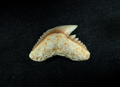 Galeocerdo sp., Zahnbreite 10 mm, Sammlung und Foto: Thomas Noll