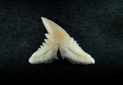 Hemipristus curvatus, Zahnbreite 11 mm, Sammlung und Foto: Thomas Noll