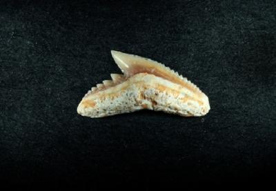 Galeocerdo sp.,Zahnbreite 10 mm, Sammlung und Foto: Thomas Noll