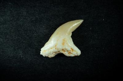 Hemipristus curvatus, Zahnhöhe 7 mm, Sammlung und Foto: Thomas Noll