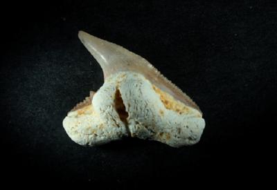 Physogaleus sp., Zahnhöhe 12 mm, Sammlung und Foto: Thomas Noll