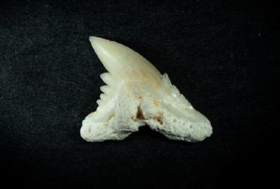 Hemipristus curvatus, Zahnhöhe 8 mm, Sammlung und Foto: Thomas Noll