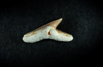 Physogaleus sp., Zahnbreite 13 mm, Sammlung und Foto: Thomas Noll